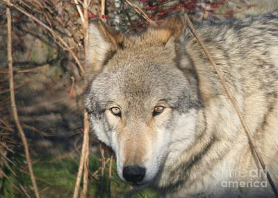 Photograph - Canis Lupus  by Neal Eslinger