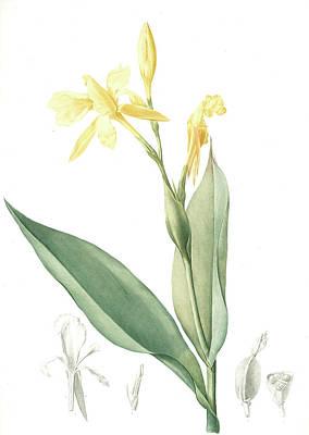 Canna Flaccida, Balisier Flasque, Golden Canna Bandana Art Print by Artokoloro