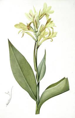 Canna Glauca, Balisier Glauque, Maraca Amarilla Louisianna Art Print by Artokoloro