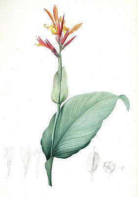 Canna Indica, Baslisier Der Indes Indian Shot, Achira Art Print by Artokoloro
