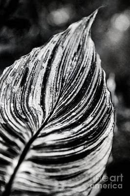 Canna Photograph - Canna Leaf by Venetta Archer