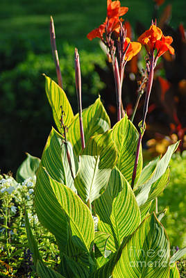 Canna Lily Art Print by Optical Playground By MP Ray