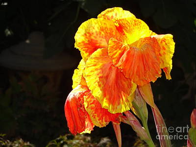 Photograph - Canna Lily by Rod Ismay