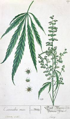 Stalk Painting - Cannabis by Elizabeth Blackwell