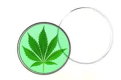 Cannabis Leaf In A Petri Dish Art Print