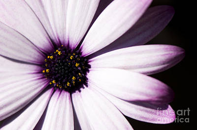 Osteospermum Photograph - Cannington Roy by Anne Gilbert