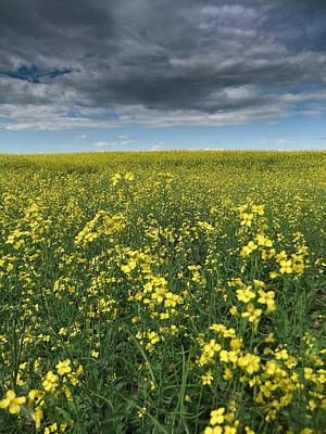 Photograph - Canola 001 by Philip Rispin
