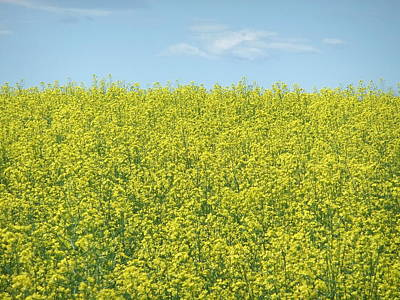 Photograph - Canola 002 by Philip Rispin