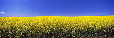 Rape Photograph - Canola Field In Bloom, Idaho, Usa by Panoramic Images