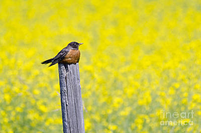 Photograph - Canola Perch by Dee Cresswell