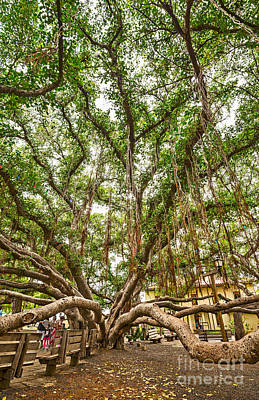 Banyan Tree Photograph - Canopy - Banyan Tree Park In Maui by Jamie Pham
