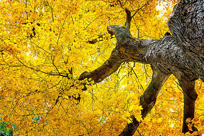 Tree Bark Photograph - Canopy Of Autumn Leaves by Tom Mc Nemar