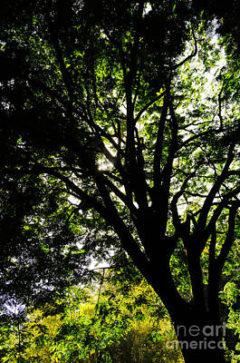 Photograph - Canopy Of Large Trees On Maui Hawaii Usa by Don Landwehrle