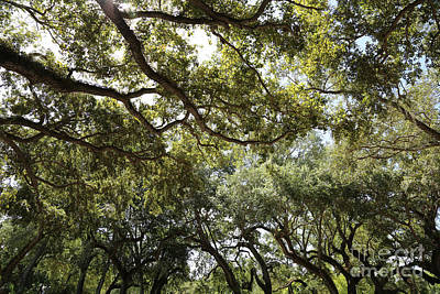 Photograph - Canopy Of Live Oaks by Carol Groenen