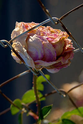 Photograph - Can't Fence Me In - Faded Rose Art Print by Jane Eleanor Nicholas