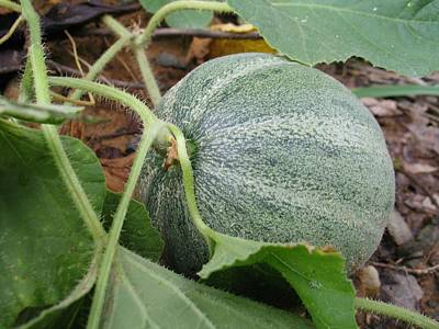 Cantaloupe Photograph - Cantaloupe  by Jennifer Wheatley Wolf