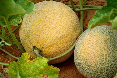 Cantaloupe Photograph - Cantaloupe by Kathryn Meyer