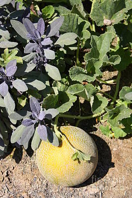 Cantaloupe Photograph - Cantaloupe On The Vine by Danielle Groenen