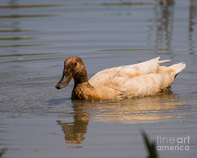 Photograph - Canvasback by Dale Nelson