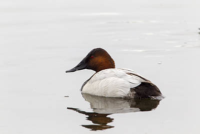 Photograph - Canvasback by Doug Lloyd