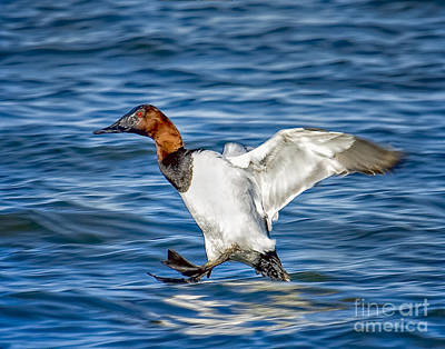 Photograph - Canvasback Incoming by Ronald Lutz