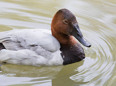 Canvasback Art Print
