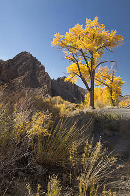 Photograph - Canyon Cottonwood by Jim Snyder