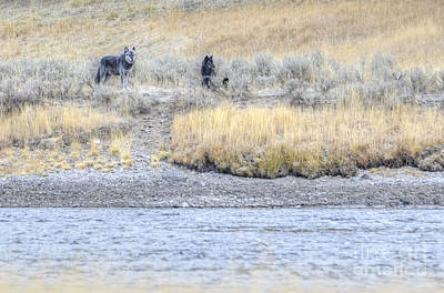 Photograph - Canyon Pack Wolves by Deby Dixon