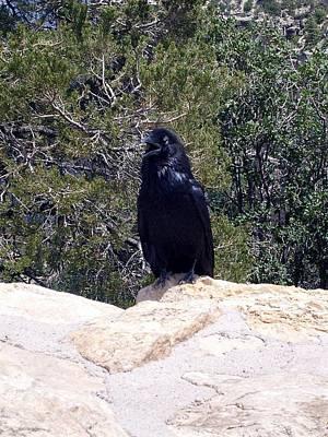 Photograph - Canyon Raven by Philomena Zito
