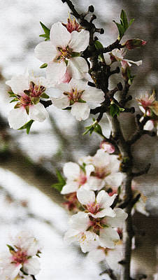 Photograph - Capay Valley Almond Blossom by Jennifer Muller