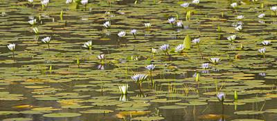 Cape Blue Water-lilies Zimbabwe Art Print