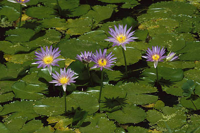 Cape Lily Photograph - Cape Blue Water-lily Group Blooming by Konrad Wothe