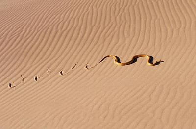 Yellow Cobra Photograph - Cape Cobra by M. Watson