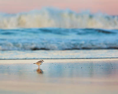 Photograph - Cape Cod National Seashore Piping Plover by Bill Wakeley