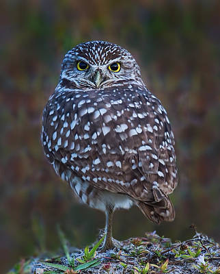 Wall Art - Photograph - Cape Coral Burrowing Owl by Martin Belan