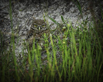 Photograph - Cape Coral Owl by Donald Brown