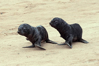 Fur Seal Photograph - Cape Fur Seal Pups by Simon Booth