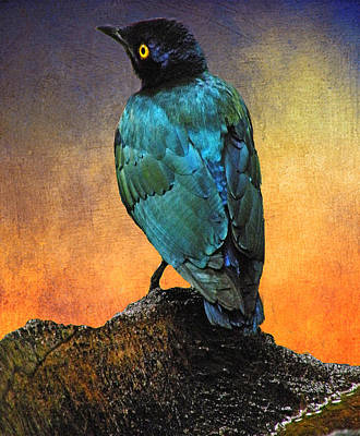 Photograph - Cape Glossy Starling by Arkamitra Roy