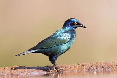 Cape Glossy Starling Art Print
