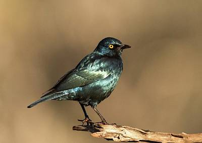 Omnivore Photograph - Cape Glossy Starling On A Perch by Tony Camacho