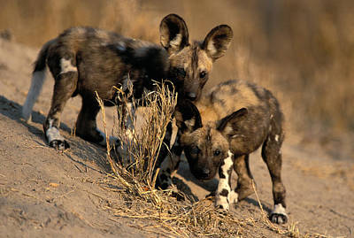 Photograph - Cape Hunting Dog Pups by Nigel Dennis