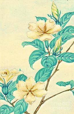 Cape Jasmine 1870 Art Print by Padre Art