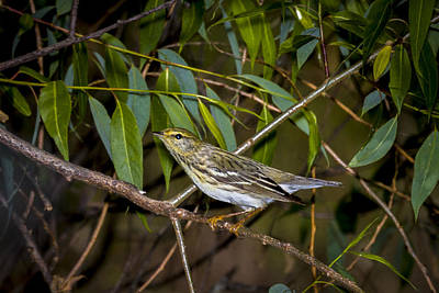 Photograph - Cape May Warbler by Jack R Perry