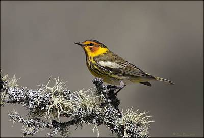 Warbler Digital Art - Cape May Warbler On Lichens by Daniel Behm