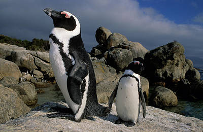 Photograph - Cape Penguin And Chick by Nigel Dennis