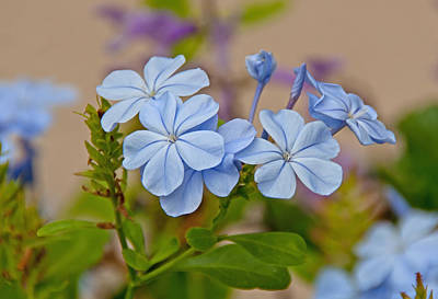 Photograph - Cape Plumbago by John Black
