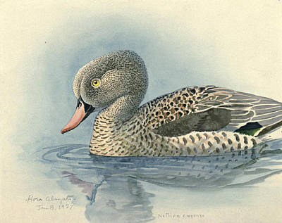 1927 Painting - Cape Teal by Dreyer Wildlife Print Collections