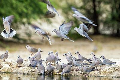 Cape Turtle Doves Drinking Art Print by Peter Chadwick