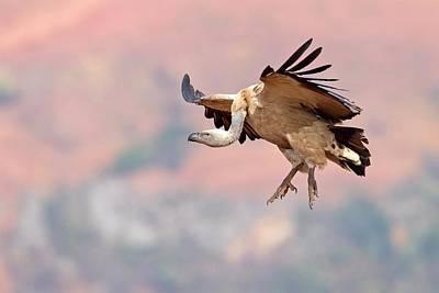 Vulture Wall Art - Photograph - Cape Vulture In Flight by Bildagentur-online/mcphoto-schaef