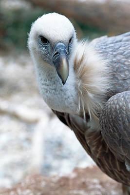 Cape Vulture Art Print